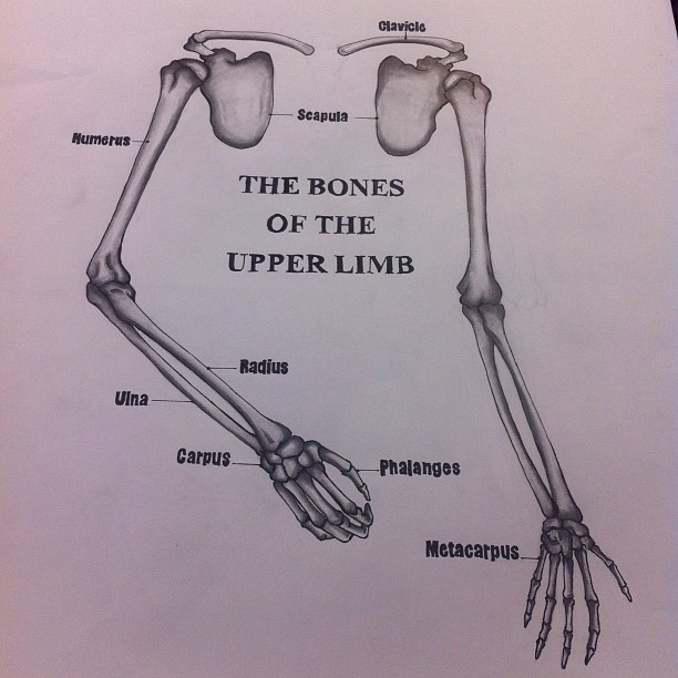 Drawing and Anatomy: Bones Of Upper The Limb by seasonscall on ...