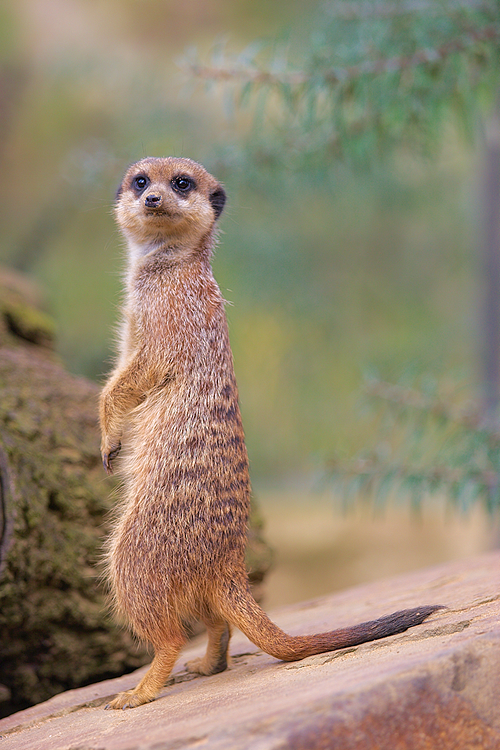 Meerkat by scoiattolissimo
