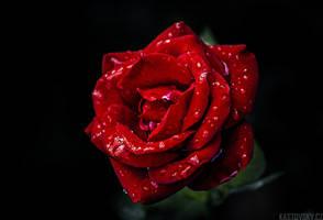 Red Rose by Zavorka