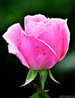 Pink Rose 02 by Zavorka