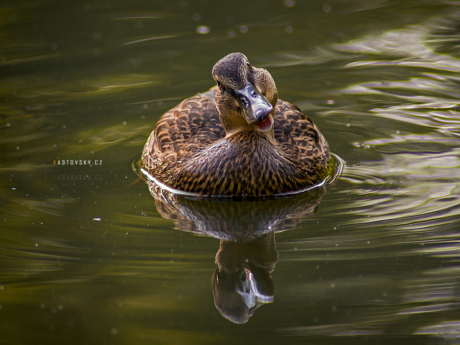 Duck, Duck! by Zavorka