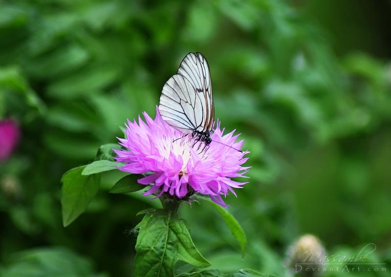 Butterfly by Massambe