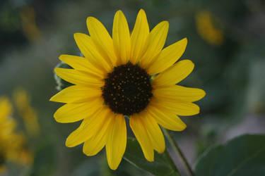 Sunflower by Sakura222-stock