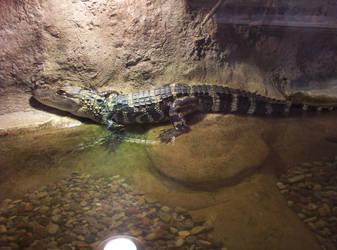 Alligator by Sakura222-stock