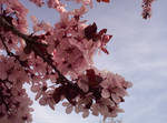 Cherry Blossoms 01