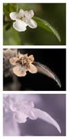 Melissa officinalis (Lemon Balm) flower Vis UV IR