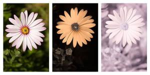 Osteospermum ecklonis flower Vis UV IR comparison