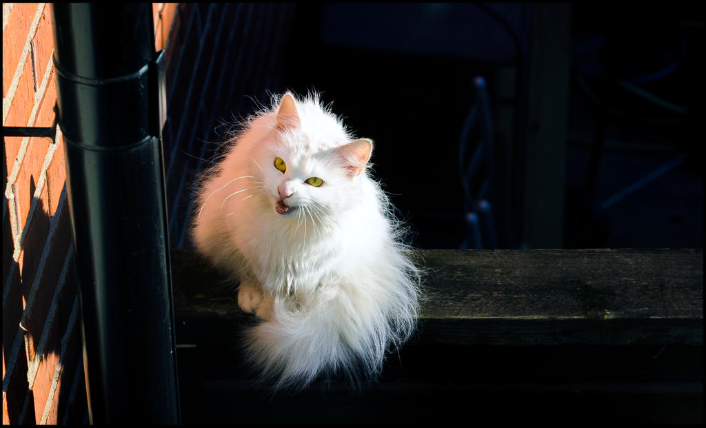 Chaty white fluff by PaVet-Photography