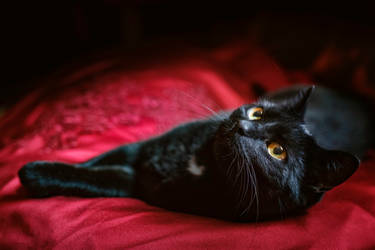Queen of Velvet by PaVet-Photography