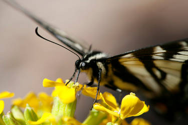 Pale Swallowtail dining by segraser