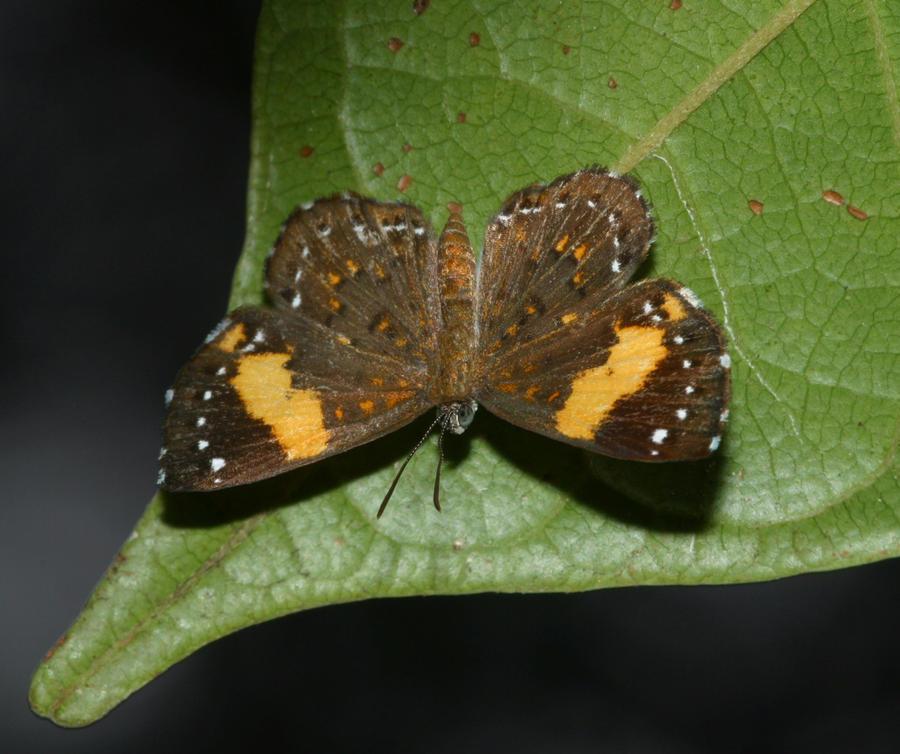 Calospila emylius - dorsal by segraser