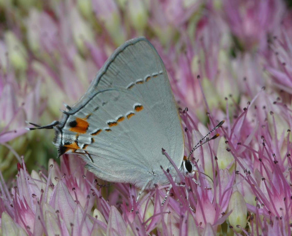 Mint condition Gray Hairstreak by segraser