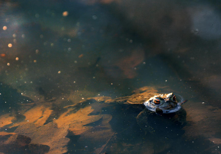 bathing toad