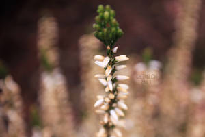white heath by GreenSlOw