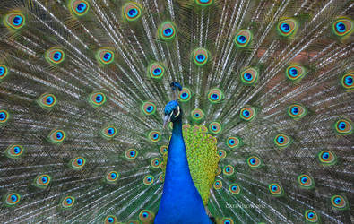 Peacock by GreenSlOw
