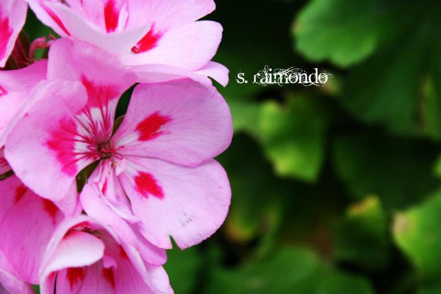 Pink Flowers by WarriorQueen2005