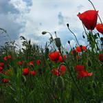 poppy flowers vol.2
