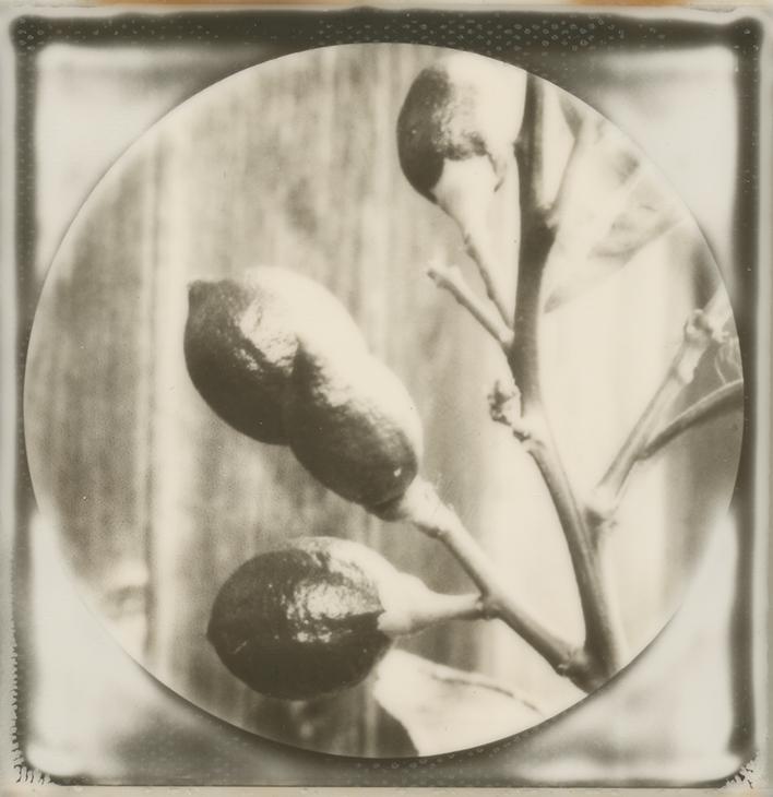 Baby Lemons by JillAuville