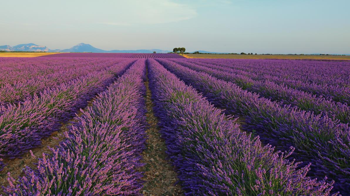 Purple lines by steveland67
