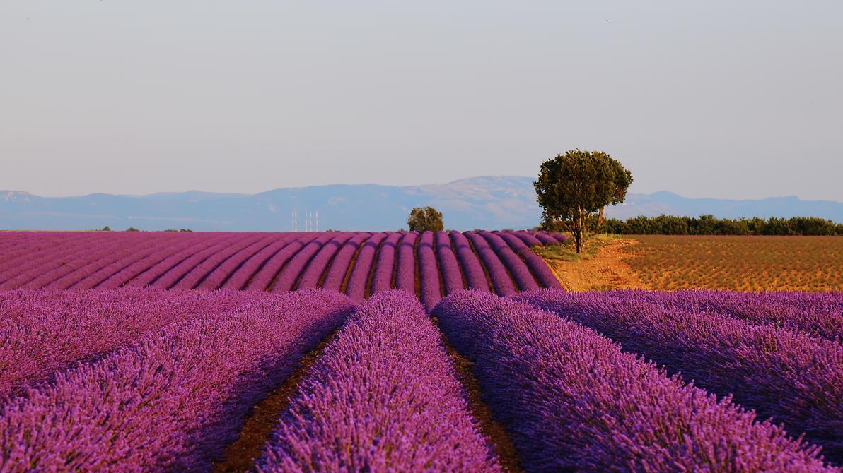 Purple lines IV by steveland67