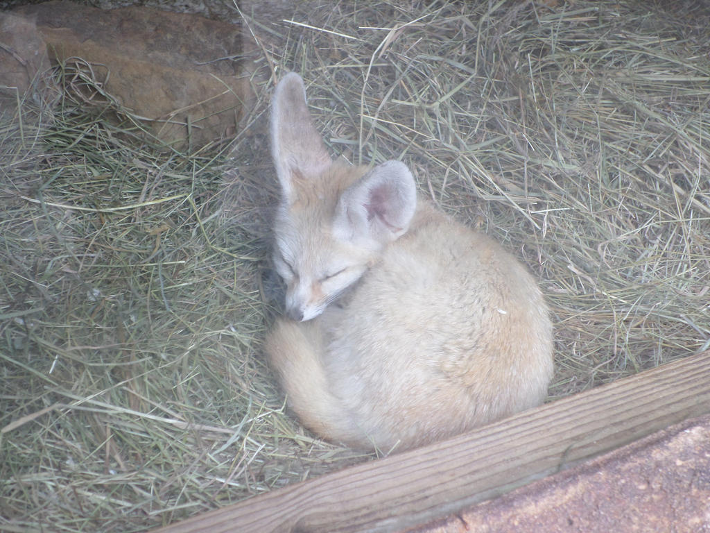 Sleeping Fennec Fox by mdscarfaceone