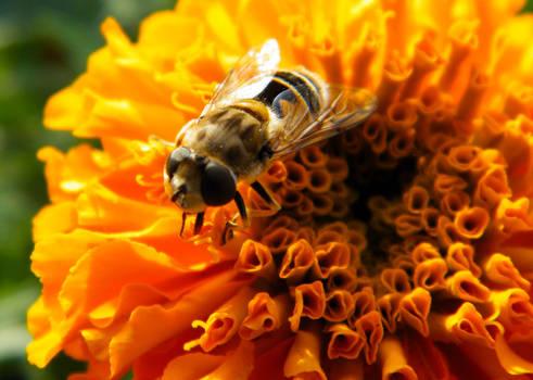 Syrphidae fly