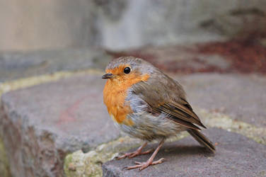 The Robin by RobindV