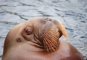 Awkward Walrus by RobindV