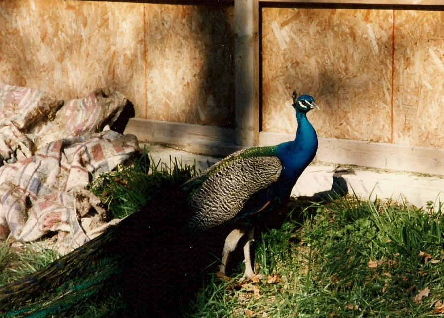 Peacock by bewilderedconfused
