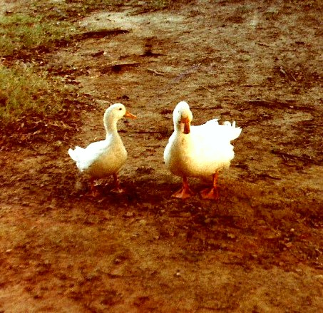 Duck gossip by bewilderedconfused