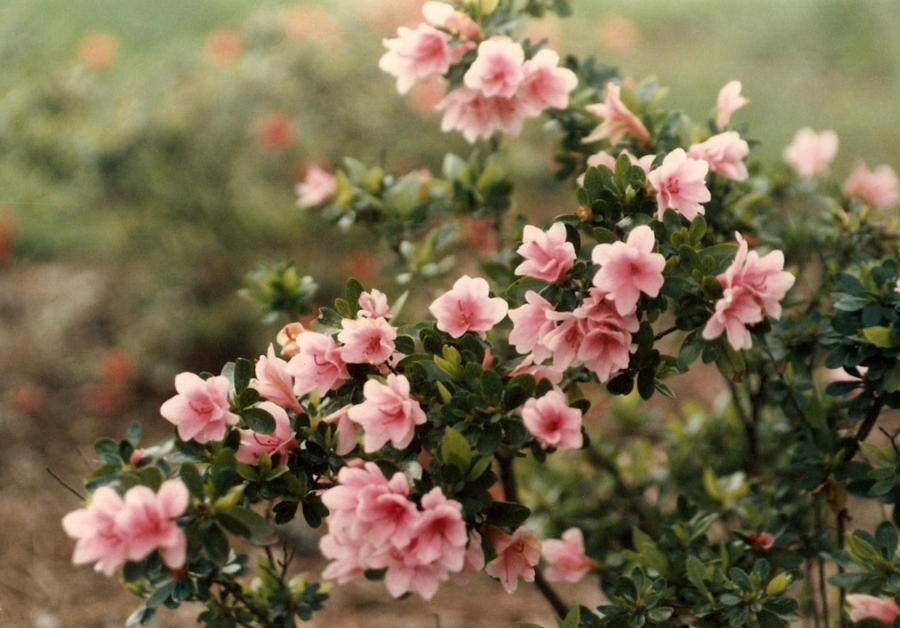 Pale Pink Azaleas by bewilderedconfused