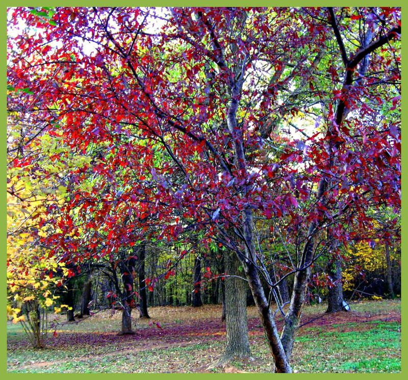 Dogwood in fall by bewilderedconfused
