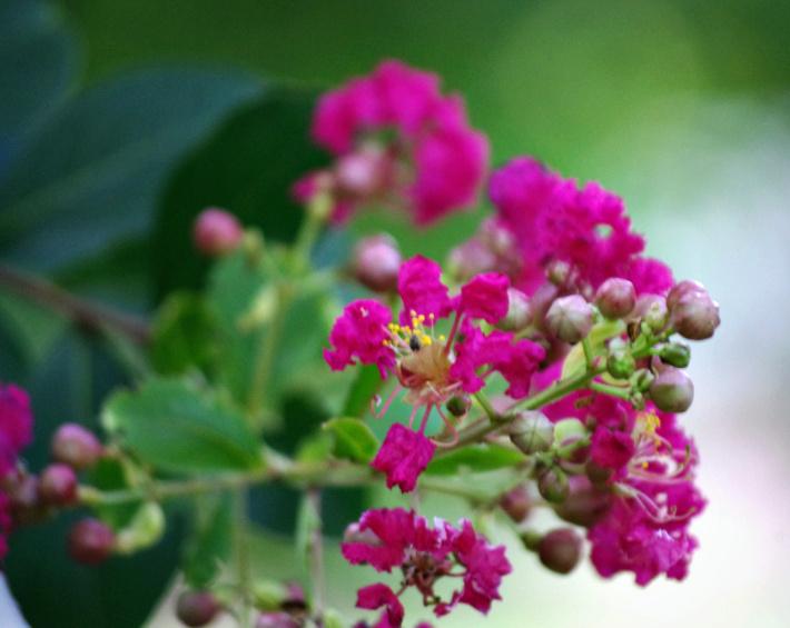 Pink Crepe Myrtle by bewilderedconfused