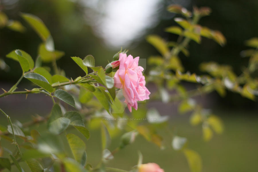 Pink Rose by ClaudeDupont