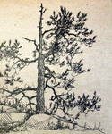 Pine-tree sketch