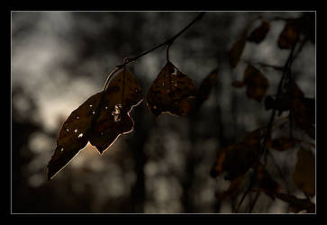 Golden leaf by Chevees