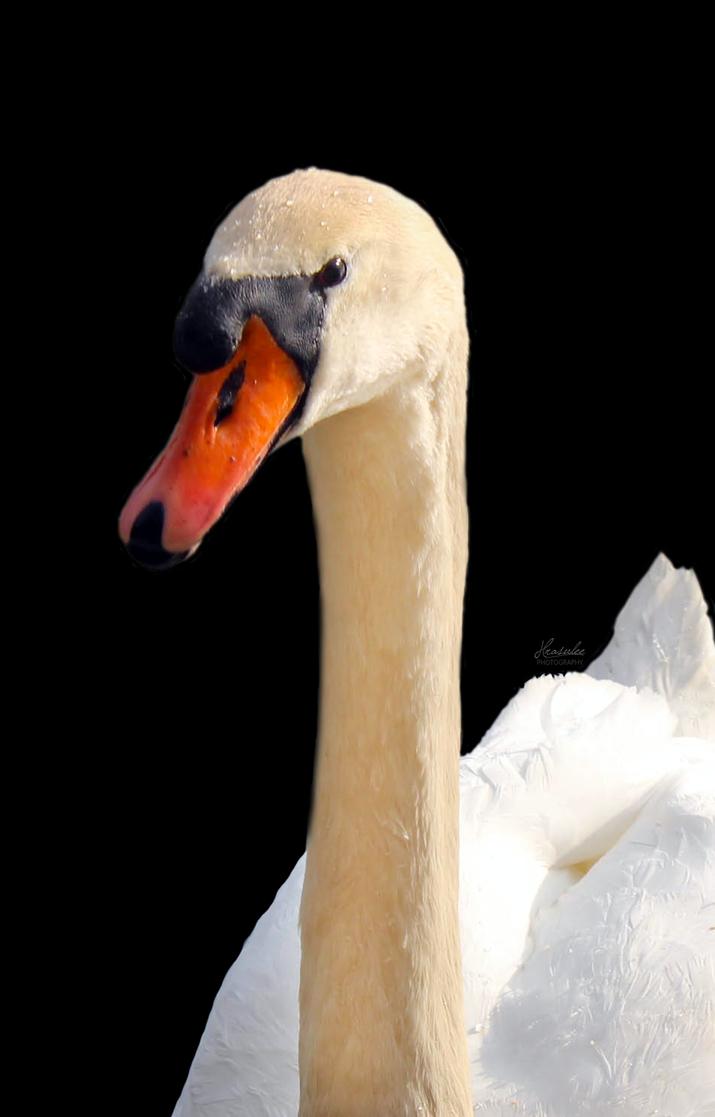 White Swan on Black Background by Hrasulee