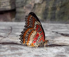 Niagara Butterfly House - Red Lacewing Butterfly by Ammoniite