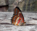 Niagara Butterfly House - Red Lacewing Butterfly
