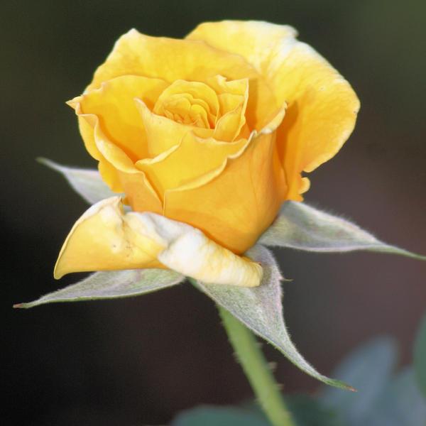 CVECE - Page 2 Yellow_Rose_by_fatherofanartist