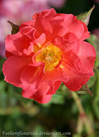 Spring Rose Garden III