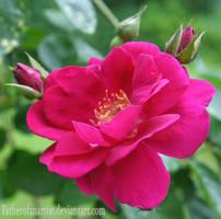 Jersey rose