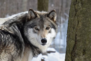 Mei the beautiful female timber wolf