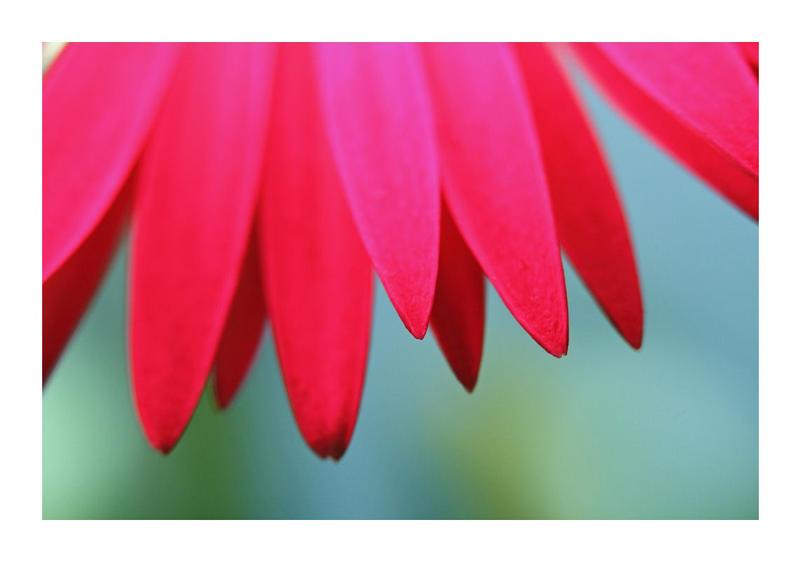 Petals by Vamaena