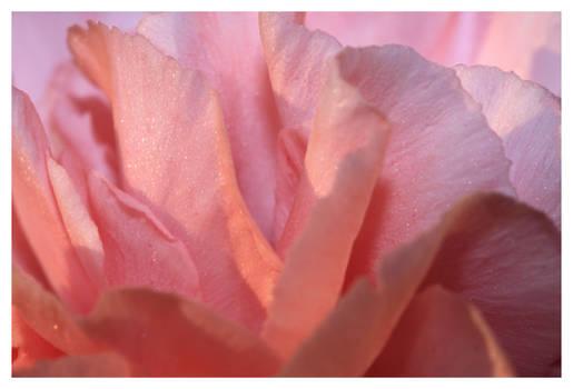 Carnation Petals - Take 2