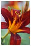 Lily by Vamaena