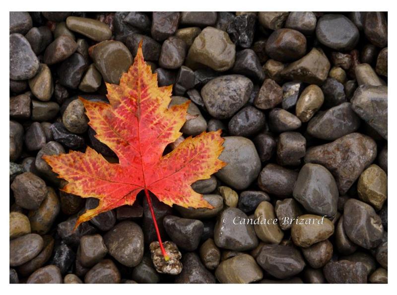 Autumn Maple Leaf by Vamaena