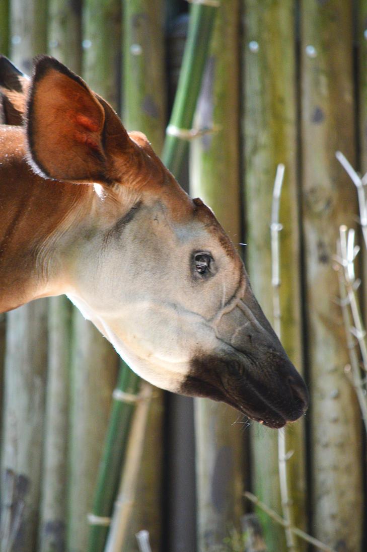 Okapi Profile 2 by MermaidsandWaves1993