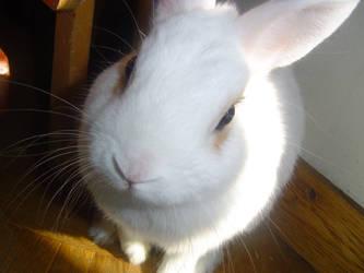 White Rabbit by DulceElixir