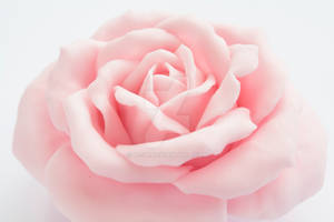 Pink Rose by li-sa